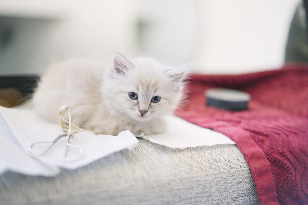 Ragdoll blåmaskad kattunge makeup